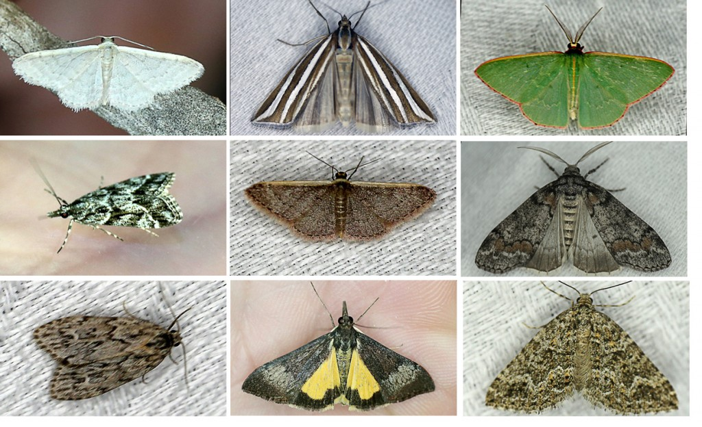Some colourful local moths to keep an eye out for during 2015.