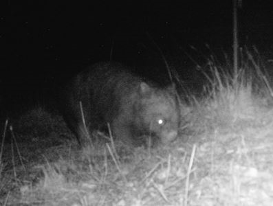 A Common Wombat photographed in Harcourt North by a Landcare member using one of Connecting Country infrared cameras.