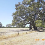 400 year old red gum's dot the property.