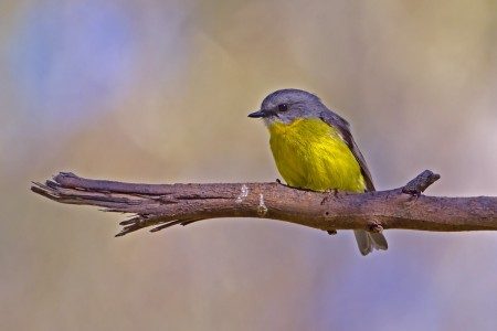 Eastern Yellow Robin. Photo by Albert Wright.