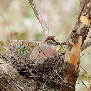This is a male Common Bronzewing. The female's colours are more muted. Pic by Patrick Kavanagh
