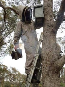 Smoke is used to calm the bees during nest box removal.